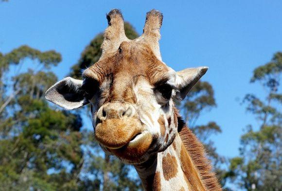 giraffe-1794712__480