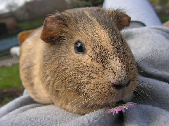 guinea-pig-449983_1280