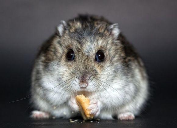 hamster-1772742__480 (1)