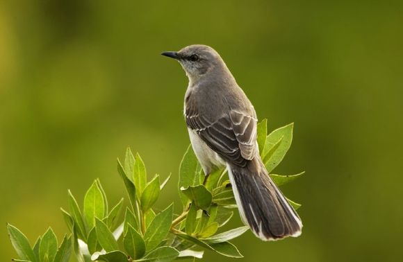 mockingbird-702804__480
